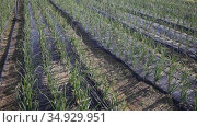 Rows of green onions growing on large plantation with polyethylene mulch on soil. Стоковое видео, видеограф Яков Филимонов / Фотобанк Лори