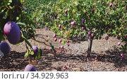 Big ripe mangoes hanging on tree branches in summer fruit garden. Стоковое видео, видеограф Яков Филимонов / Фотобанк Лори