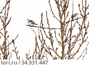Snow buntings (Plectrophenax nivalis) resting in a tree in Tromso, Northern Norway. Стоковое фото, фотограф Espen Bergersen / Nature Picture Library / Фотобанк Лори