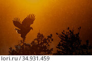 Golden Eagle adult (Aquila chrysaetos) silhouetted in tree after sunset, Kuusamo, Finland, January. Стоковое фото, фотограф Markus Varesvuo / Nature Picture Library / Фотобанк Лори