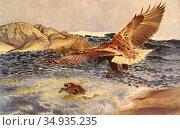 Liljefors Bruno - a Sea Eagle Chasing an Eider Duck - Swedish School... Редакционное фото, фотограф Artepics / age Fotostock / Фотобанк Лори