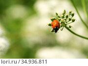 Божья коровка (Coccinella septempunctata) Стоковое фото, фотограф Щеголева Ольга / Фотобанк Лори