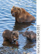 Wild Kamchatka brown she-bear with two bear cub catch red salmon fish and eat it while standing in water of river. Стоковое фото, фотограф А. А. Пирагис / Фотобанк Лори