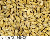 Barley (Hordeum vulgare) grain at end of malting process following chitting and kilning. Malt used in brewing and distilling. Sequence 7/7. Стоковое фото, фотограф Nigel Cattlin / Nature Picture Library / Фотобанк Лори