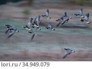 Barnacle goose (Branta leucopsis) flock in flight. Hjalstaviken nature reserve, Uppland, Sweden. October. Стоковое фото, фотограф Staffan Widstrand / Nature Picture Library / Фотобанк Лори
