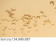 Barnacle goose (Branta leucopsis) flock in flight at dawn. Hjalstaviken nature reserve, Uppland, Sweden. October. Стоковое фото, фотограф Staffan Widstrand / Nature Picture Library / Фотобанк Лори
