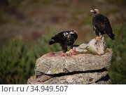 Spanish imperial eagle (Aquila adalberti), two on rock, one eating rabbit carcass put out at wildlife watching hide. Near El Barraco, Avila, Castile and Leon, Spain. December. Стоковое фото, фотограф Staffan Widstrand / Nature Picture Library / Фотобанк Лори