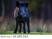 RF - Wild boar (Sus scrofa) sow. Eriksberg Wildlife and Nature Park, Blekinge, Sweden. October. Captive. (This image may be licensed either as rights managed or royalty free.) Стоковое фото, фотограф Staffan Widstrand / Nature Picture Library / Фотобанк Лори