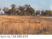 Impala (Aepycerus melampus) herd in grassland in evening light. Okavango Delta, Botswana. Стоковое фото, фотограф Suzi Eszterhas / Nature Picture Library / Фотобанк Лори