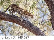 Leopard (Panthera pardus) walking down branch. Okavango Delta, Botswana. Стоковое фото, фотограф Suzi Eszterhas / Nature Picture Library / Фотобанк Лори