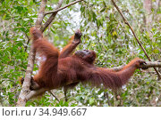 Bornean orangutan (Pongo pygmaeus) female resting in tree. Tanjung Puting National Park, Indonesia. Стоковое фото, фотограф Suzi Eszterhas / Nature Picture Library / Фотобанк Лори
