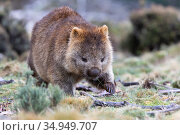 Common wombat (Vombatus ursinus). Cradle Mountain National Park, Tasmania, Australia. Стоковое фото, фотограф Suzi Eszterhas / Nature Picture Library / Фотобанк Лори