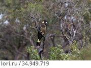 Yellow-tailed black cockatoo (Calyptorhynchus funereus) perched in tree. Kangaroo Island, South Australia. Стоковое фото, фотограф Suzi Eszterhas / Nature Picture Library / Фотобанк Лори