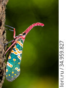 Lantern bug (Pyrops candelaria) Ha Pak Nai, Yuen Long District facing... Стоковое фото, фотограф Wayne Wu Ying / Wild Wonders of China / Nature Picture Library / Фотобанк Лори