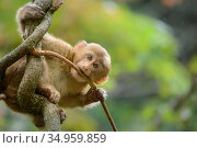 Tibetan macaque (Macaca thibetana) baby playing in tree, Tangjiahe Nature Reserve, Sichuan, China. Стоковое фото, фотограф Wayne Wu Ying / Wild Wonders of China / Nature Picture Library / Фотобанк Лори