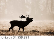 Red deer (Cervus elaphus) stag calling in grassland. Bushy Park, London, England, UK. October. Стоковое фото, фотограф Guy Edwardes / Nature Picture Library / Фотобанк Лори
