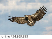 African white-backed vulture (Gyps africanus) male in flight. Hawk Conservancy Trust, Hampshire, England, UK. Captive. Стоковое фото, фотограф Guy Edwardes / Nature Picture Library / Фотобанк Лори