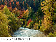 Autumn trees including Beech (Fagus sylvatica) and Larch (Larix decidua) alongside Sava River. Slovenia. October. Стоковое фото, фотограф Guy Edwardes / Nature Picture Library / Фотобанк Лори