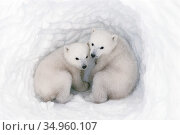 Polar bear (Ursus maritimus) cubs, age 2-3 months, in den, Wapusk National Park, Manitoba, Canada. March. Стоковое фото, фотограф Jenny E. Ross / Nature Picture Library / Фотобанк Лори