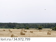 Bales of harvested forage grass, crows and a tractor. Стоковое фото, фотограф Анна Майорова / Фотобанк Лори