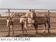 Horses look over the fence at the Ichalkovsky stud farm. Стоковое фото, фотограф Анна Майорова / Фотобанк Лори