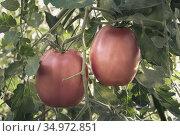 Tomatoes ripen on the branches of a Bush. Стоковое фото, фотограф Galina Tolochko / Фотобанк Лори