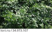 Young parsley plants growing on farm land at sunny day. Стоковое видео, видеограф Яков Филимонов / Фотобанк Лори