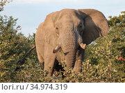 Африканский слон с бивнями идет через кусты акации (2010 год). Стоковое фото, фотограф Олег Елагин / Фотобанк Лори