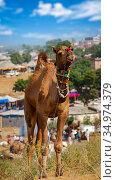 Camel at Pushkar Mel (Pushkar Camel Fair) in Pushkar, Rajasthan, India (2012 год). Стоковое фото, фотограф photoff / Фотобанк Лори