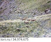 Сибирские горные козлы или козероги кормятся на горном склоне. Стоковое фото, фотограф Олег Елагин / Фотобанк Лори