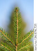 Natural evergreen branch with needles of Christmas tree in pine forest. Close-up view of fir branches ready for festive decoration for Happy New Year. Стоковое фото, фотограф А. А. Пирагис / Фотобанк Лори