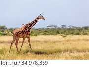 The Somalia giraffe goes over a green lush meadow. Стоковое фото, фотограф Eugen Haag / easy Fotostock / Фотобанк Лори