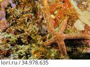 Multi Pore Sea Star, Linckia multifora, Starfish, Coral Reef, South... Стоковое фото, фотограф Alberto Carrera Anaya / easy Fotostock / Фотобанк Лори