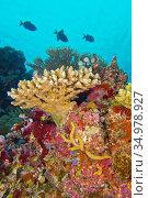 Coral Reef, Reef Building Coral, South Ari Atoll, Maldives, Indian... Стоковое фото, фотограф Alberto Carrera Anaya / easy Fotostock / Фотобанк Лори