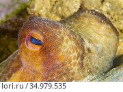Common octopus, Octopus vulgaris, Cabo Cope-Puntas del Calnegre Natural... Стоковое фото, фотограф Alberto Carrera Anaya / easy Fotostock / Фотобанк Лори