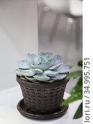 Succulent Indoor Flower in a Pot, Home Floriculture and Plant Growing. Стоковое фото, фотограф Светлана Евграфова / Фотобанк Лори