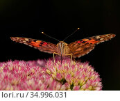 Painted lady butterfly (Vanessa cardui) feeding on sedum (Hylotelephium) in a garden. Wales, UK. Summer. Стоковое фото, фотограф Andy Rouse / Nature Picture Library / Фотобанк Лори
