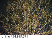Pied Wagtails (Motacilla alba) mass roosting at night in tree in Bath city centre, England, UK, January. Стоковое фото, фотограф John Waters / Nature Picture Library / Фотобанк Лори