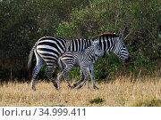 Common / Plains zebra (Equus quagga burchelli) female and foal. Masai Mara National Reserve, Kenya. November 2018. Стоковое фото, фотограф Anup Shah / Nature Picture Library / Фотобанк Лори