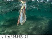 Brown pelican (Pelecanus occidentalis) feeding underwater, Eastern Pacific Ocean, Bahia Magdalena, Baja California, Mexico. Стоковое фото, фотограф Franco Banfi / Nature Picture Library / Фотобанк Лори