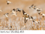 Snow Bunting (Plectrophenax nivalis) banking in flight over snow-covered field, others flying in the background, Ithaca, New York, USA Digitally retouched image (distraction removed from background) Стоковое фото, фотограф Marie Read / Nature Picture Library / Фотобанк Лори