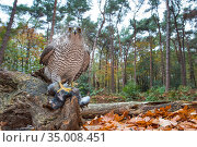 RF - Northern goshawk (Accipiter gentilis) with prey, wide angle view. the Netherlands, October. (This image may be licensed either as rights managed or royalty free.) Стоковое фото, фотограф Edwin Giesbers / Nature Picture Library / Фотобанк Лори