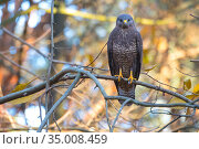 Common buzzard (Buteo buteo) perched on branch, The Netherlands, November. Стоковое фото, фотограф Edwin Giesbers / Nature Picture Library / Фотобанк Лори