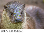European otter (Lutra lutra) portrait,captive, Germany. Стоковое фото, фотограф Edwin Giesbers / Nature Picture Library / Фотобанк Лори