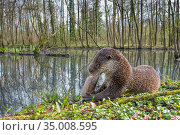 European otter (Lutra lutra) feeding on fish, wide angle view, captive, Germany. Стоковое фото, фотограф Edwin Giesbers / Nature Picture Library / Фотобанк Лори