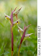Eastern tongue orchid (Serapias orientalis var. siciliensis), Sortino, Sicily, April. Стоковое фото, фотограф Lorraine Bennery / Nature Picture Library / Фотобанк Лори