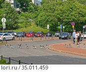 People and birds. Barnacle geese (Branta leucopsis) cross carriageway in organized manner. Helsinki (2016 год). Редакционное фото, фотограф Валерия Попова / Фотобанк Лори