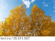 Horizontal photo of a group of white birch trees with yellow foliage is against the blue sky background in the forest in autumn. Стоковое фото, фотограф Татьяна Куклина / Фотобанк Лори