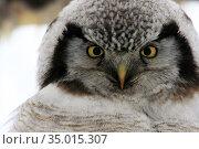 Northern Hawk Owl  (Surnia ulula), Kamchatka, Russia, Ястребинная сова, Камчатка, Россия. Стоковое фото, фотограф Олег Елагин / Фотобанк Лори