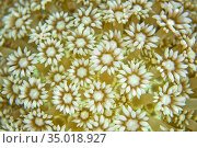 Daisy Coral, Stony coral, Goniopora, Lembeh, North Sulawesi, Indonesia... Стоковое фото, фотограф Alberto Carrera Anaya / easy Fotostock / Фотобанк Лори